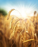 Wheat and sun under blue sky Royalty Free Stock Images