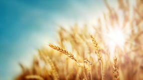 Wheat and sun Royalty Free Stock Image