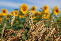 Wheat And Sunflower Field Stock Photos