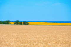 Wheat and sunflower fields Royalty Free Stock Photography