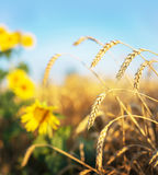 Wheat and sunflowers Royalty Free Stock Image