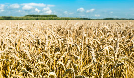 Wheat on a sunny day ready for harvesting Stock Photography
