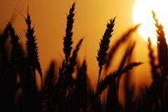 Wheat at sunset 03. Close up shot of wheat at silhouetted at sunset royalty free stock photo