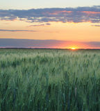 Wheat and sunset Stock Photo