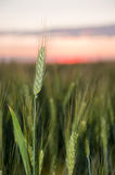Wheat and sunset Stock Images