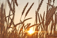 Wheat at sunset. Royalty Free Stock Photography