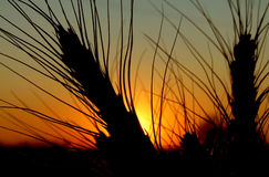 Wheat at sunset. Closeup shot of a wheat ear in sunset Royalty Free Stock Photo