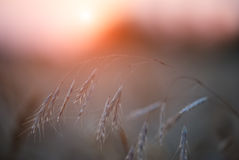 Wheat during sunset Stock Photography