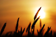 Wheat at sunset. Close up shot of wheat at silhouetted at sunset royalty free stock images