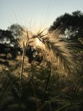 Wheat. In sunset Royalty Free Stock Photo