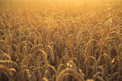 Wheat at sunset. Agriculture, wheat field at sunset Royalty Free Stock Photo