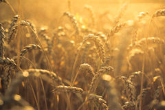 Wheat at sunset. Agriculture, wheat field at sunset Stock Photo
