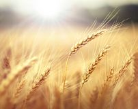 Wheat in sunset Stock Photography