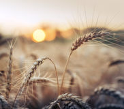 Wheat in sunset Stock Image