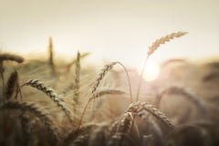 Wheat in sunset Royalty Free Stock Photos