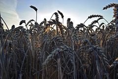 Wheat in sunset Royalty Free Stock Image