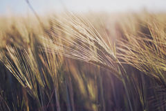 Wheat at sunset. Detail in a field of wheat at sunset Stock Photos