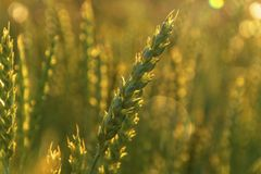 Wheat in the sunset royalty free stock photography