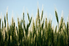 Wheat At Sunset Royalty Free Stock Photography