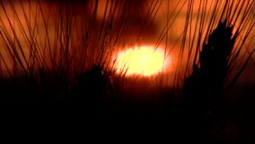 Wheat at sunset stock video footage