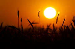 Wheat Sunset Stock Image