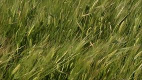 Wheat swaying in the wind stock video footage