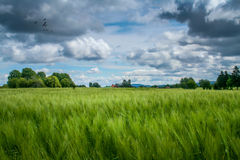 Wheat of Sweden. Wheat field in Jämtland in Sweden Royalty Free Stock Photography