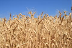 Wheat table.1 Stock Photos