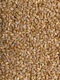 Wheat Texture Royalty Free Stock Photo