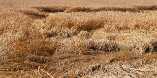 Wheat after a thunder-storm Stock Photography