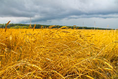 Wheat. The time of the wheat harvest, wheat field Royalty Free Stock Photography