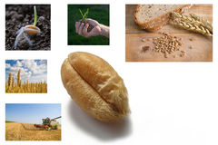 From wheat to bread. Collage stock photo
