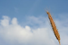 Wheat top Royalty Free Stock Photography