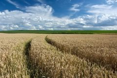 Wheat tracks and clouds in the sky. Wheel tracks on a wheat field, horizon and clouds in the blue sky royalty free stock photos