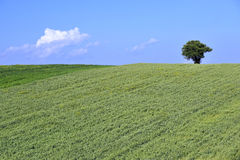 Wheat and tree Royalty Free Stock Image