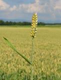 Wheat (Triticum aestivum). Colorful and crisp image of wheat (Triticum aestivum Stock Images