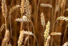 Wheat (Triticum aestivum). A field of wheat (Triticum aestivum Stock Photos