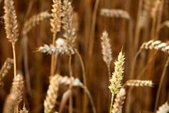Wheat (Triticum aestivum) Stock Photos