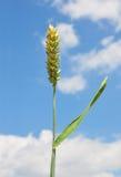 Wheat (Triticum aestivum) Royalty Free Stock Photography