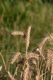Wheat (Triticum aestivum L.). Is the most important grain Royalty Free Stock Photos