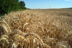 Wheat (Triticum aestivum L.). Is the most important grain Stock Photography