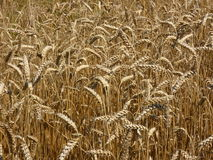 Wheat Triticum Crop. Crop field in harvest time in the summer. Cereal ear view Stock Images