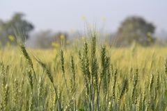Wheat (Triticum Sp.) Crop and Field of India Royalty Free Stock Image