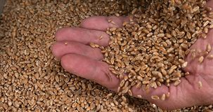 Wheat, triticum sp. falling info hand, stock video