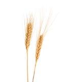 Wheat (Triticum spp.) Stock Images