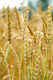 Wheat Turning Ripe Stock Image