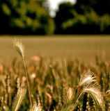 Wheat. Uk grass yellow green kent garden spring Royalty Free Stock Photography