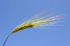 Wheat under blue sky. Singel wheat high up in the blue sky:close-up shooting Stock Photo