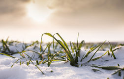 Wheat under snow Stock Image