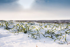 Wheat under snow Stock Images